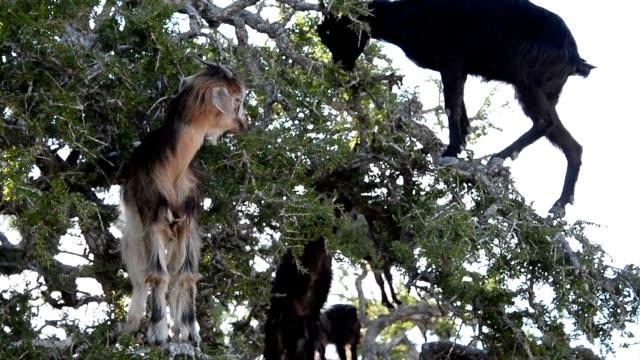 un gregge di capre in un albero di argan di argan mangia le noccioline. - inerpicarsi video stock e b–roll