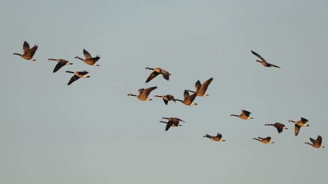 플락 of 그레이스풀 캐나다 거위 날아가는 느린 동작 - 하늘을 나는 새 스톡 비디오 및 b-롤 화면
