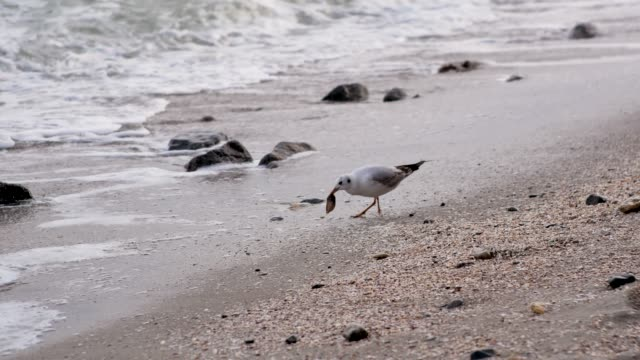 Flock of Gulls eating and walking on the beach