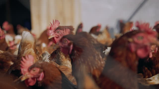 Flock of hens roaming freely around a humane poultry farm. video