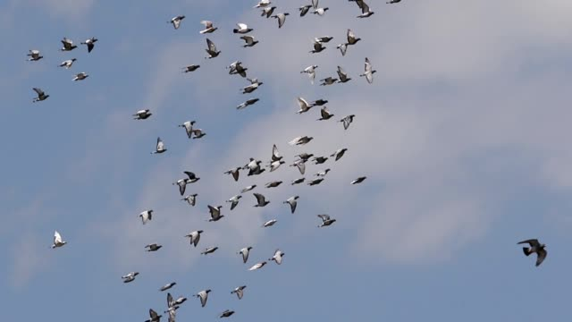stormo di piccione viaggiatore volare sopra il cielo - battere le ali video stock e b–roll