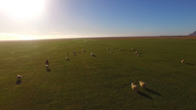 aerial flock of icelandic sheep on the pasture - sheep stock videos and b-roll footage