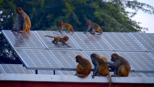 a flock of monkeys on the roof of the house, where there are solar panels - scimmia antropomorfa video stock e b–roll