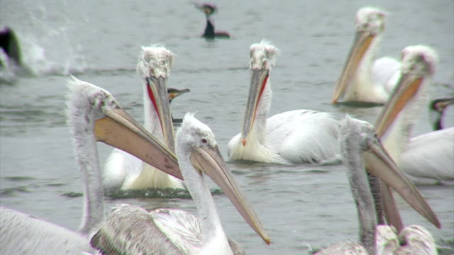 Flock of pelicans fishing in the lake video