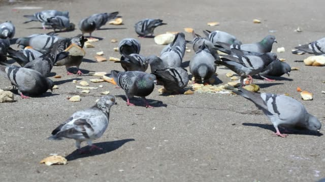 Flock of pigeons eating on the street