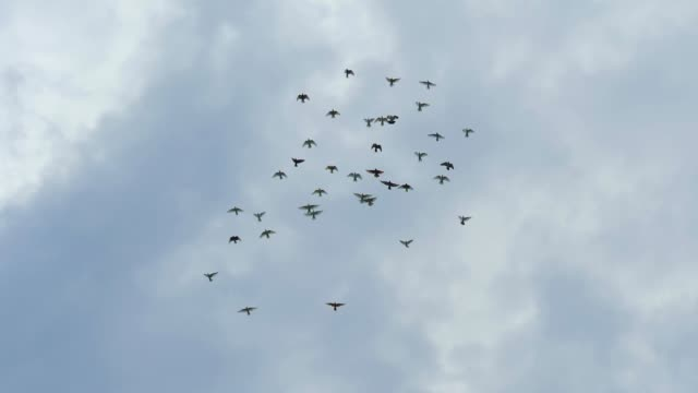 flock of pigeons flying in cloudy sky. slow motion shot - colombaccio video stock e b–roll