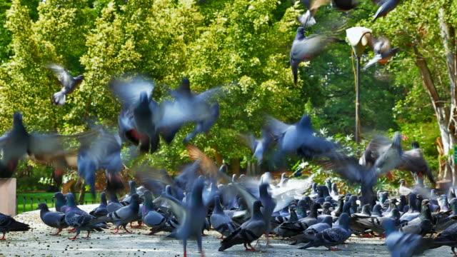 hd stormo di piccioni che volano fuori - battere le ali video stock e b–roll