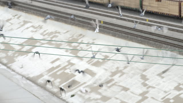 Flock of pigeons land and take off from wires in slow motion video