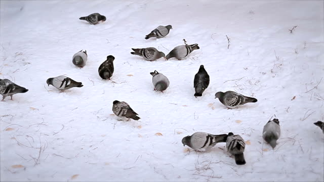 flock of pigeons on snow video