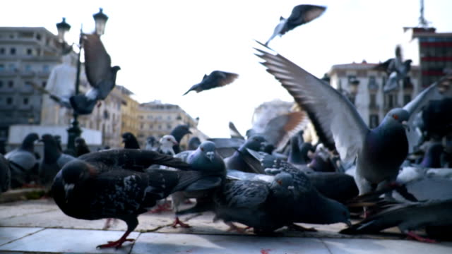 flock of pigeons - colombaccio video stock e b–roll