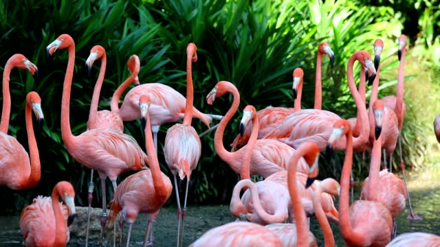 A flock of pink flamingos