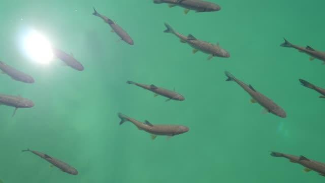 stockvideo's en b-roll-footage met een troep van riviervissen, hoogste mening. de grote vissen zwemmen in schone rivieringang die voedsel zoekt dat de toeristen bij hen werpen. plitvice meren, kroatië - bovenkleding