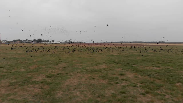Flock of Rooks Taking Off