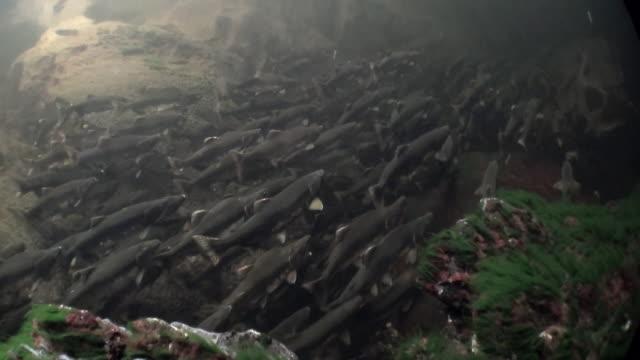 herde von lachsfischen schwimmen, um unter wasser im ozean von alaska zu laichen. - laichen stock-videos und b-roll-filmmaterial