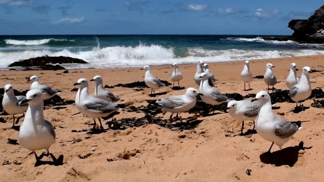 Flock of sea gulls standing on the beach A flock of sea gulls standing on a beach on a sunny day  with close up shots of sea gulls flying and getting food.  Waves in the back ground. Warriewood beach, NSW, January 2016. scavenging stock videos & royalty-free footage