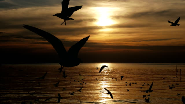 Flock of seagull birds flying at sunset sea video