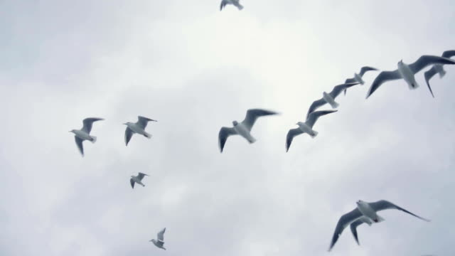 Flock of Seagulls And Birds Flying High In The Sky. Slow Motion Flock of Seagulls And Birds Flying High In The Sky. Slow Motion seagull stock videos & royalty-free footage