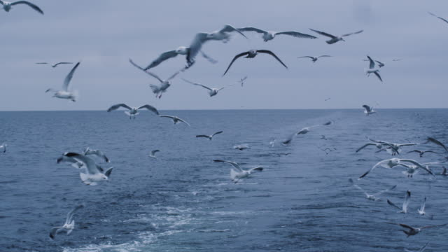 Flock of Seagulls Fly over the Sea Looking for Food Flock of Seagulls Fly over the Sea Looking for Food. Shot on RED Cinema Camera in 4K (UHD). baltic countries stock videos & royalty-free footage