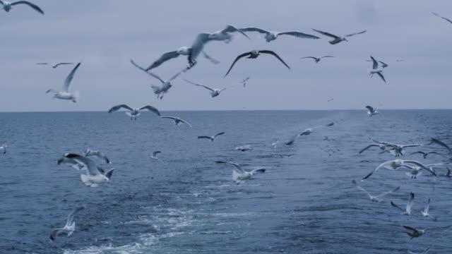 vídeos de stock, filmes e b-roll de bando de gaivotas voam sobre o mar à procura de comida - países bálticos