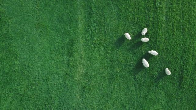 flock of sheep from above - sheep stock videos and b-roll footage