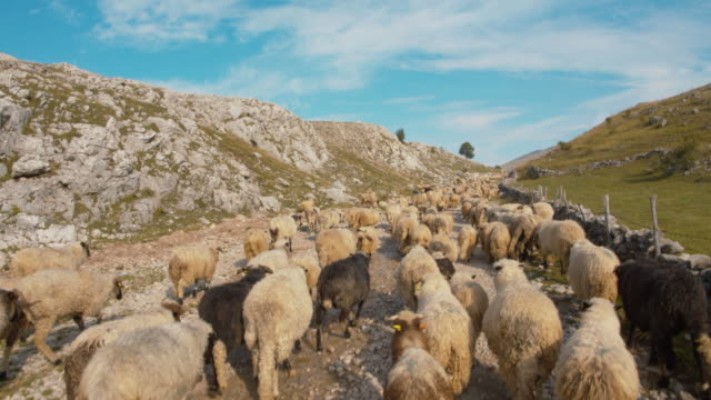 WS Flock of sheep going to pasture