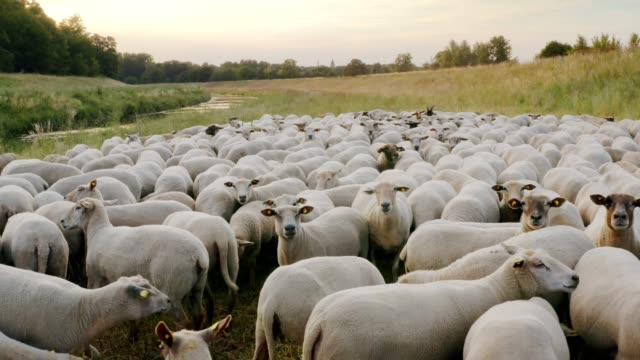 A flock of sheep grazes freely on a green meadow by the river on an organic pasture in Central Europe.
