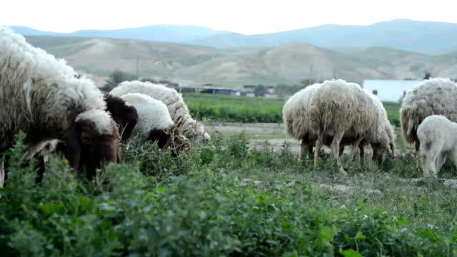 A Flock of Sheep Grazes on a Green Field video