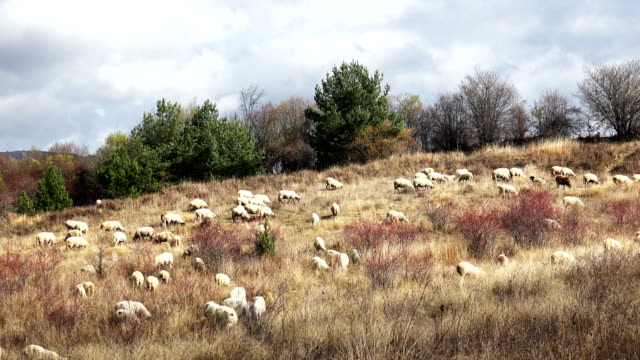 Flock of sheep grazing in a hill video