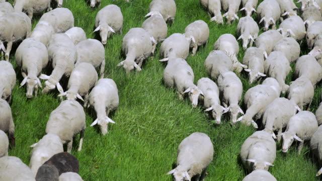 Flock Of Sheep Grazing In Spring Meadow (4K/UHD) video