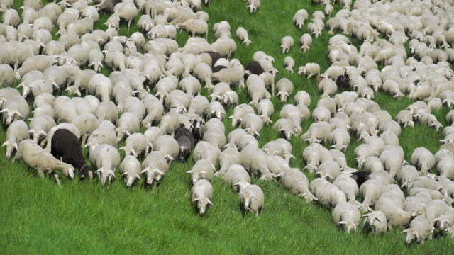 Flock Of Sheep Grazing In Spring Meadow (4K/UHD) High angle real time shot made in 4k/Ultra High Definition individuality stock videos & royalty-free footage