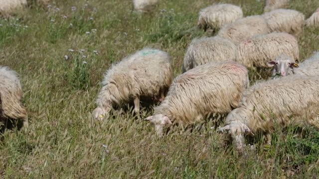 flock of sheep grazing in the field - sardegna video stock e b–roll