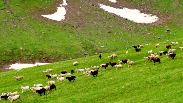 flock of sheep grazing on a green high mountains hill and move down - south downs video stock e b–roll