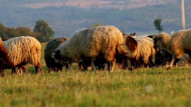 A flock of sheep grazing on mountain valley. video
