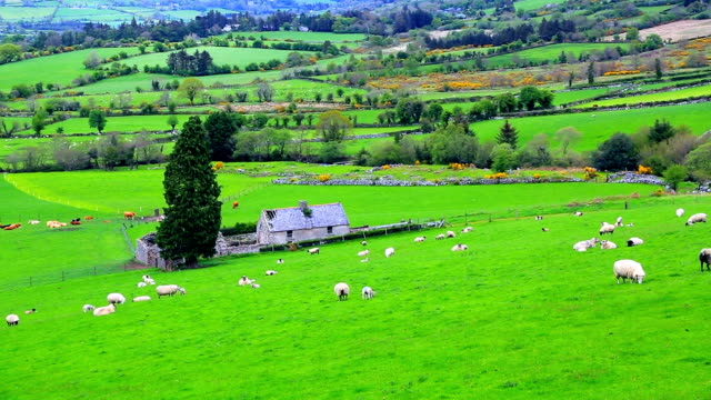 Flock of sheep grazing on rolling hills in Ireland video