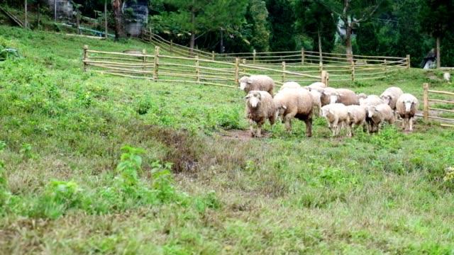 Flock of sheep in Meadow video