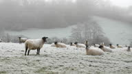istock A flock of sheep on a frosty winter morning. 1295871053