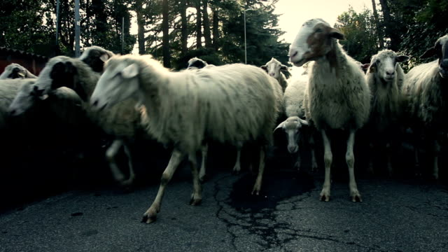 Flock of Sheep on the Road video