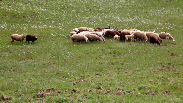 flock of sheep sheep goats walking video
