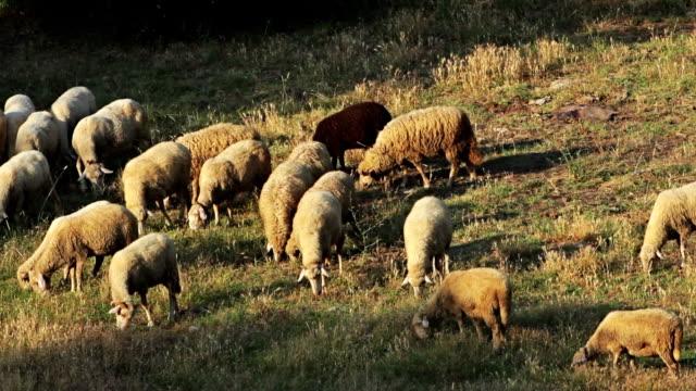 Flock of sheeps grazing in the mountain field, sunrise light video