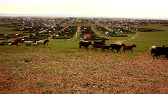 Flock of sheeps moving, Kharkhorin, Mongolia video