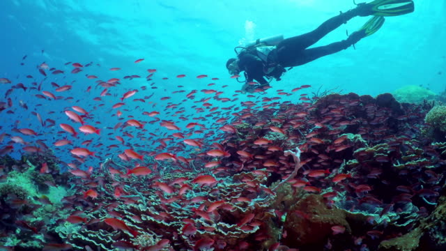 Flock of small beautiful red fishes at reef A diver exploring coral reef and flock of small beautiful red fishes Silverstreak anthias (Pseudanthias cooperi) floats around the reef scuba diving stock videos & royalty-free footage