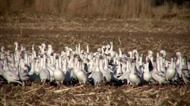 HD: Flock of Snow Geese video