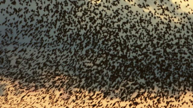flock of starlings flying at sunset against the sky - zachowanie zwierzęcia filmów i materiałów b-roll