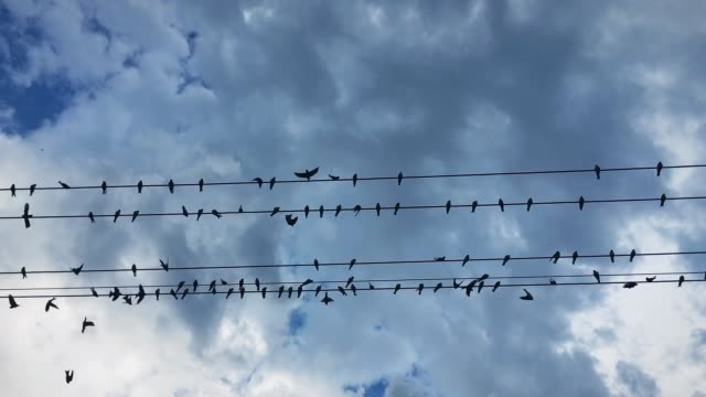 a flock of swallow birds resting on the wires about to take off. - filo metallico video stock e b–roll