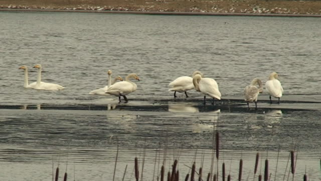 Flock of Swans on Ice video