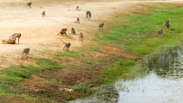 flock apor nära sjön i kambodja - primat bildbanksvideor och videomaterial från bakom kulisserna