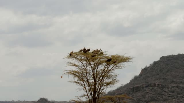 A Flock Of Vultures Sitting On Top Of A Tree And Looks For Prey In The Africa. A flock of vultures sitting on top of a tree in the African Savannah. Rest or look out for prey. Wild nature reserve Samburu {{asset.href}} stock videos & royalty-free footage