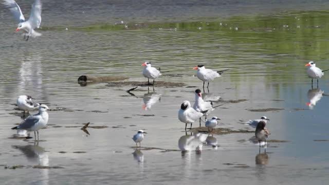 стая водных птиц разных видов отдыхает и летит вместе на мелководье. - white background стоковые видео и кадры b-roll