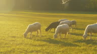 istock CLOSE UP: A flock of white and black sheep wander around a pasture and eat grass 1210536097