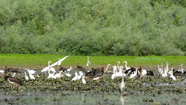 Flock of white egret video